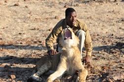 zimbabwe-lion-walk-119